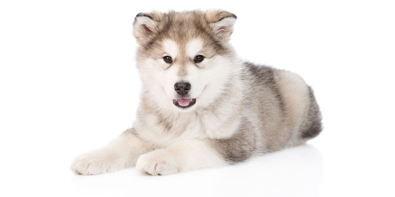 Alaskan Malamute puppies for sales