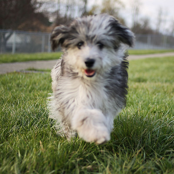 Aussiedoodle puppies for sale
