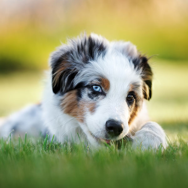 Australian Shepherd Puppies For Sale In Florida