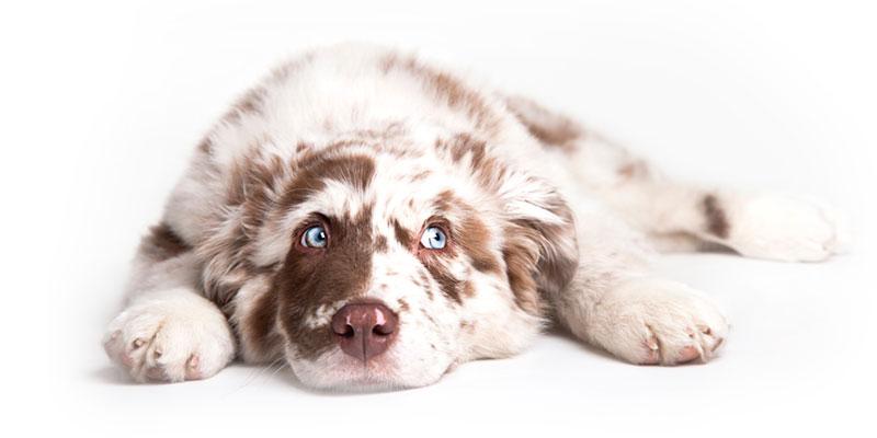Australian Shepherd puppies for sales