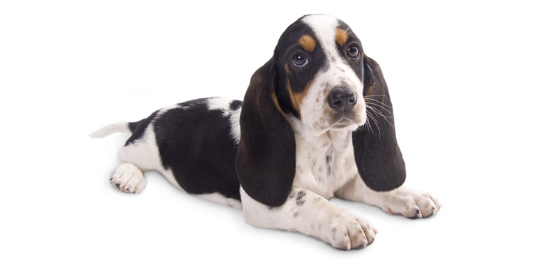 Basset Hound puppies for sales