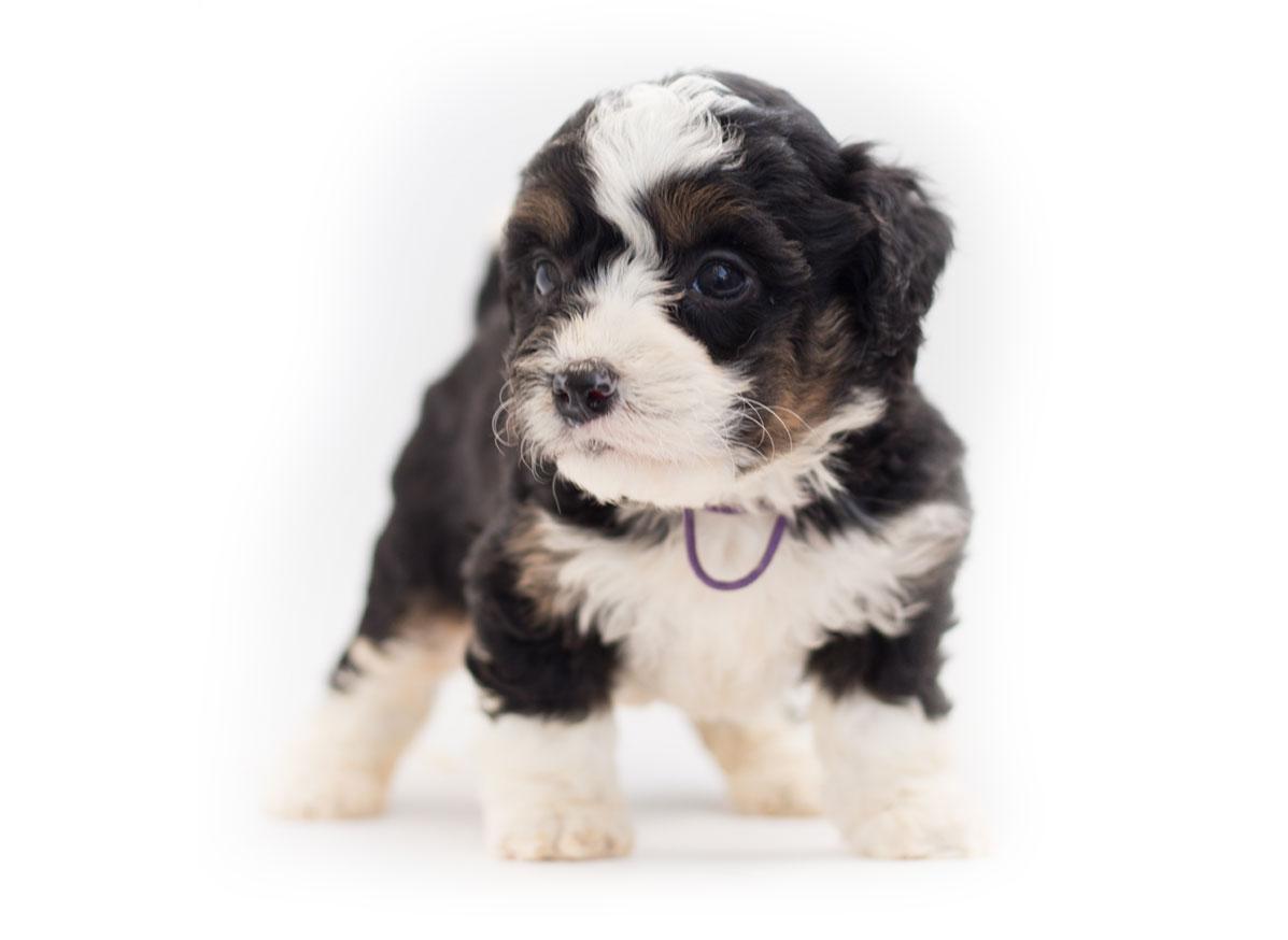 Florida Bernedoodle puppies