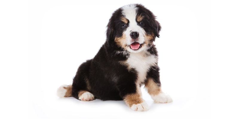 Bernese Mountain Dog puppies for sales
