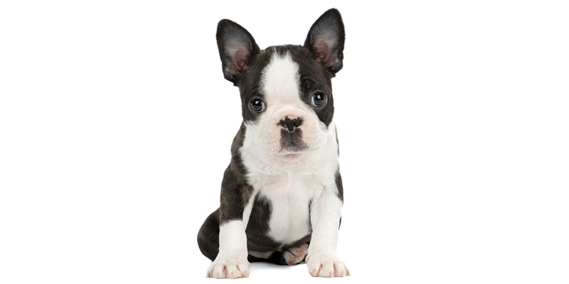 Boston Terrier puppies for sales