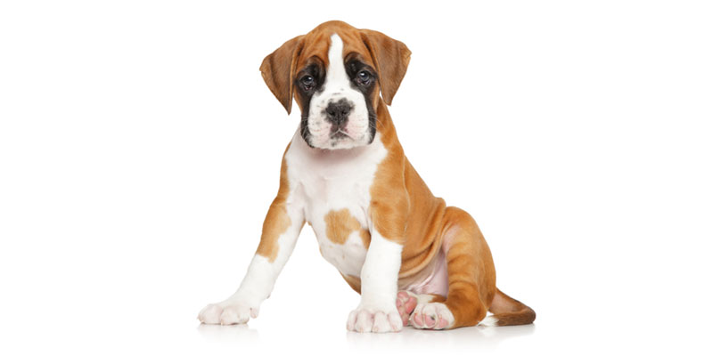 Boxer puppies for sales