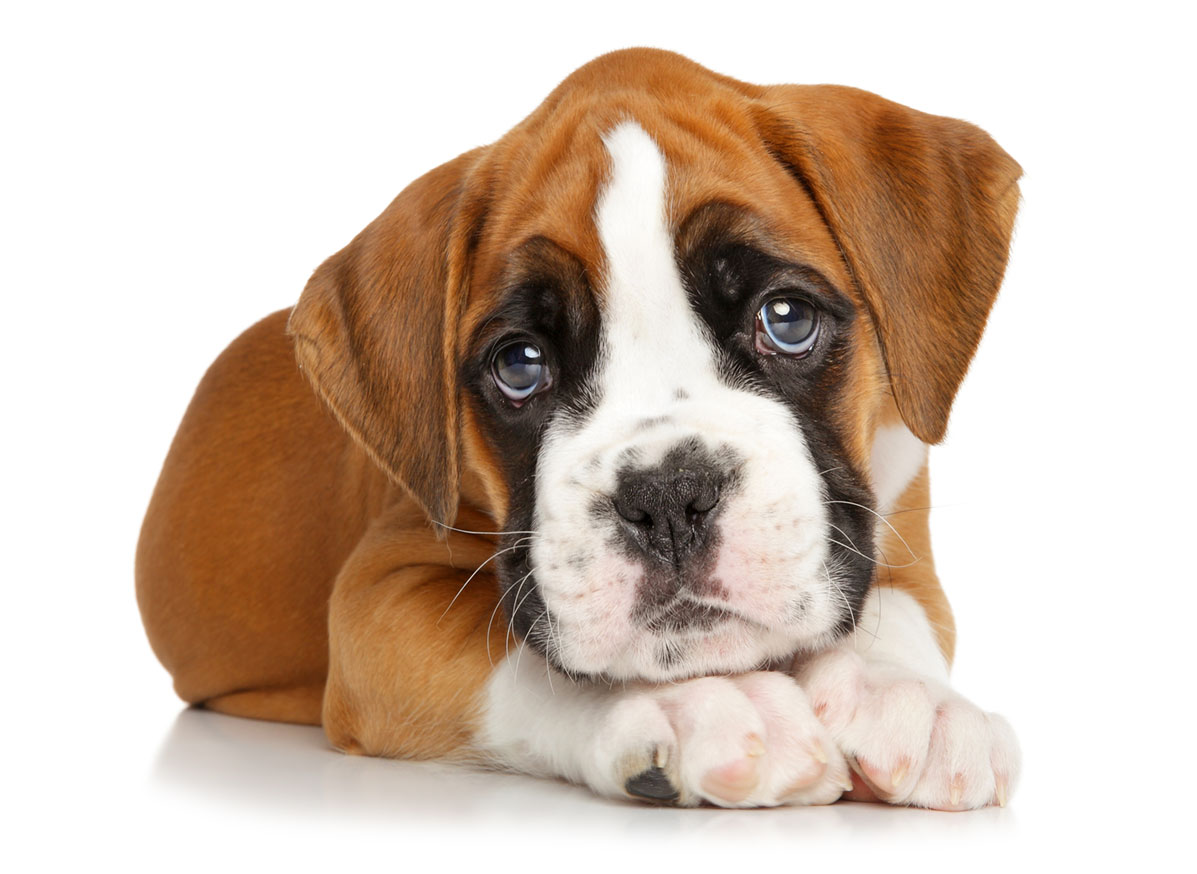Boxer puppies Florida