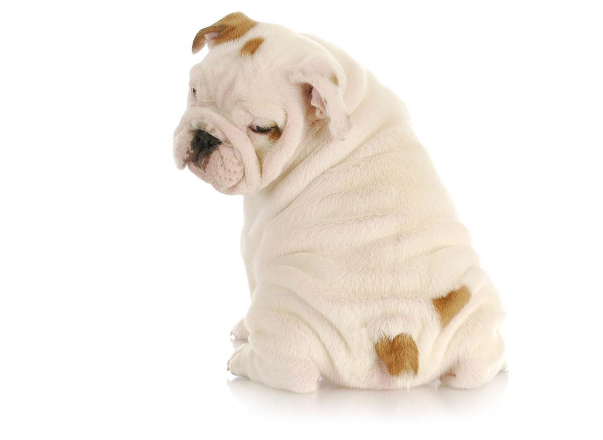 Bulldog puppy Florida