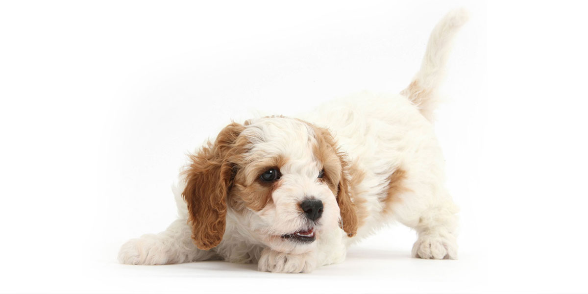 Cavapoo puppies for sales