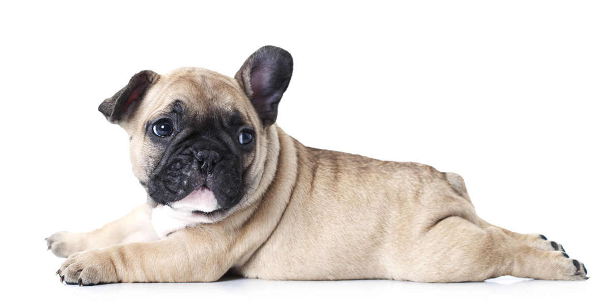 French Bulldog puppies for sales