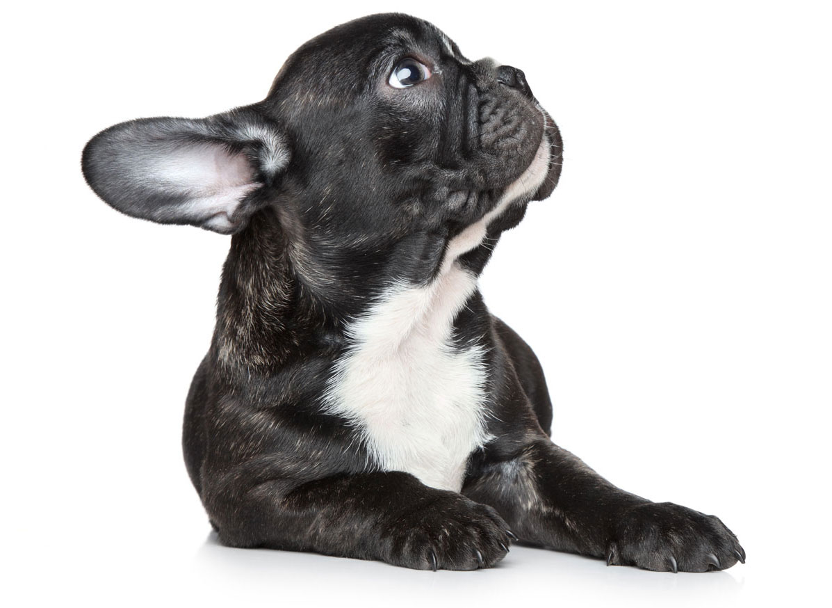 French Bulldog Florida