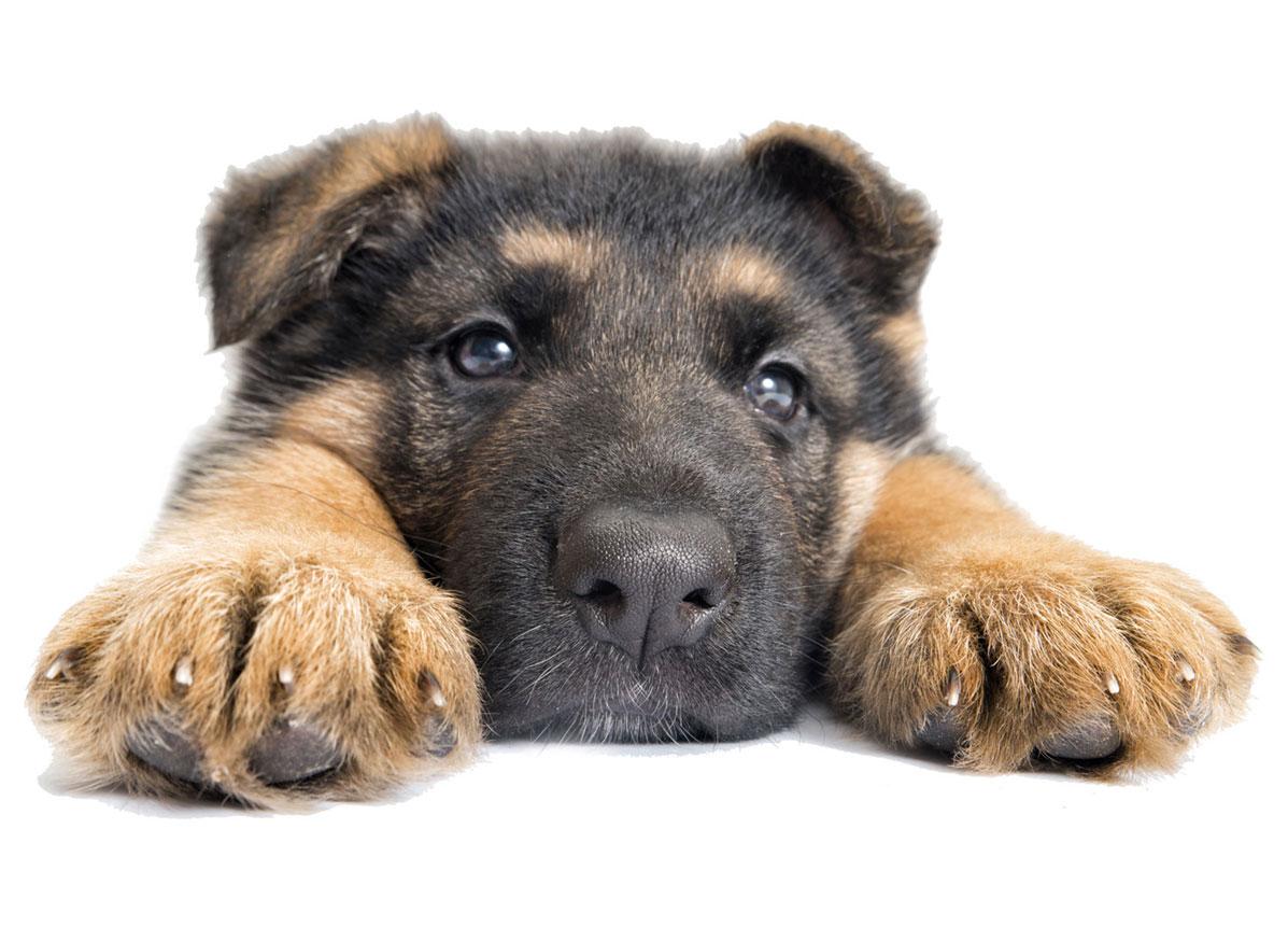 German Shepherd puppies Florida