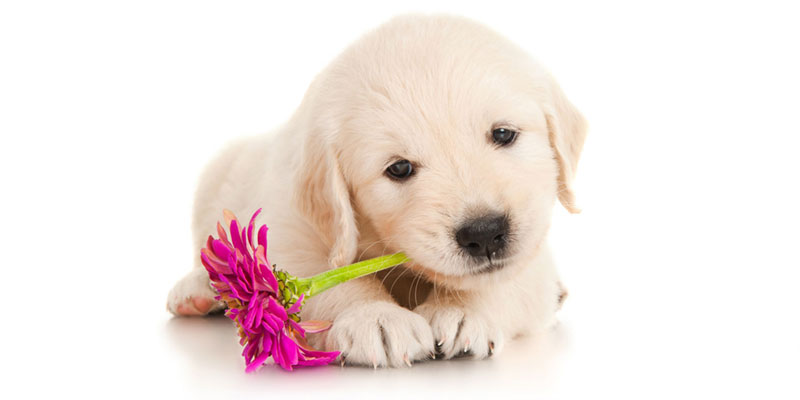Golden Retriever puppies for sales
