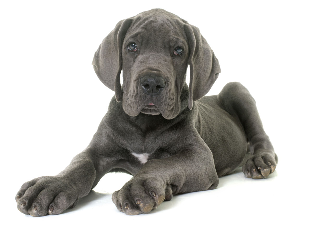 Great Dane puppies Florida