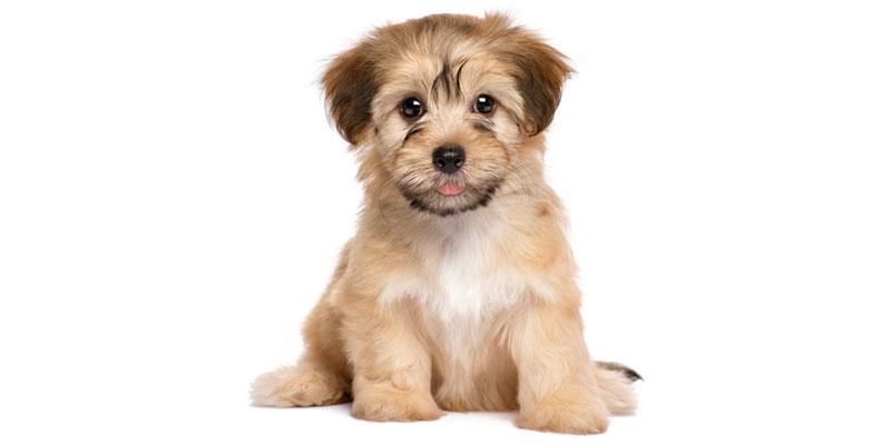 Havanese puppies for sales