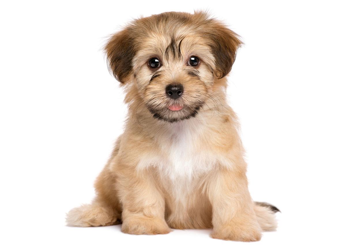 Havanese puppy Florida
