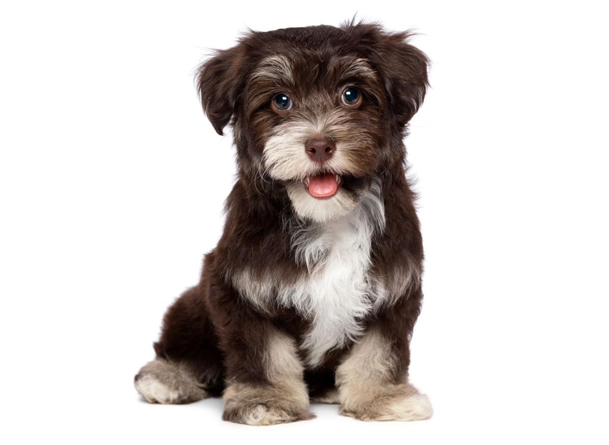 Havanese puppies Florida
