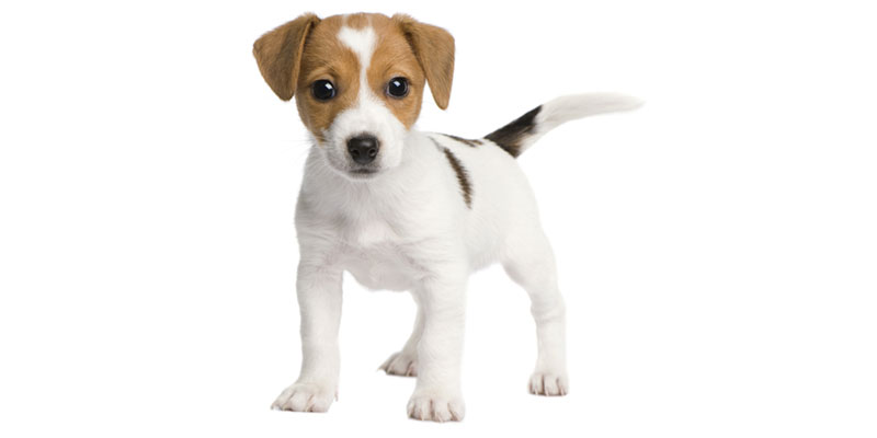 Jack Russell Terrier puppies for sales