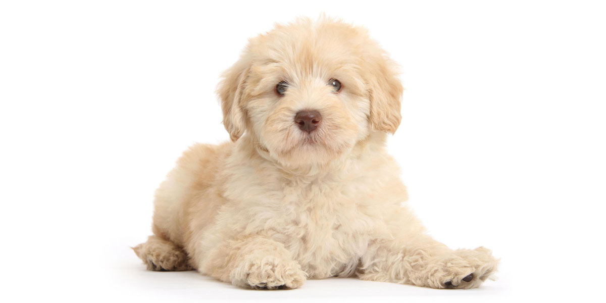 Goldendoodle puppies for sales