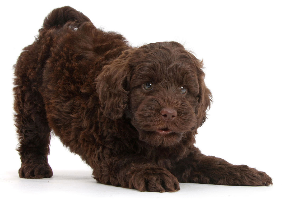Goldendoodle puppies for sale Florida