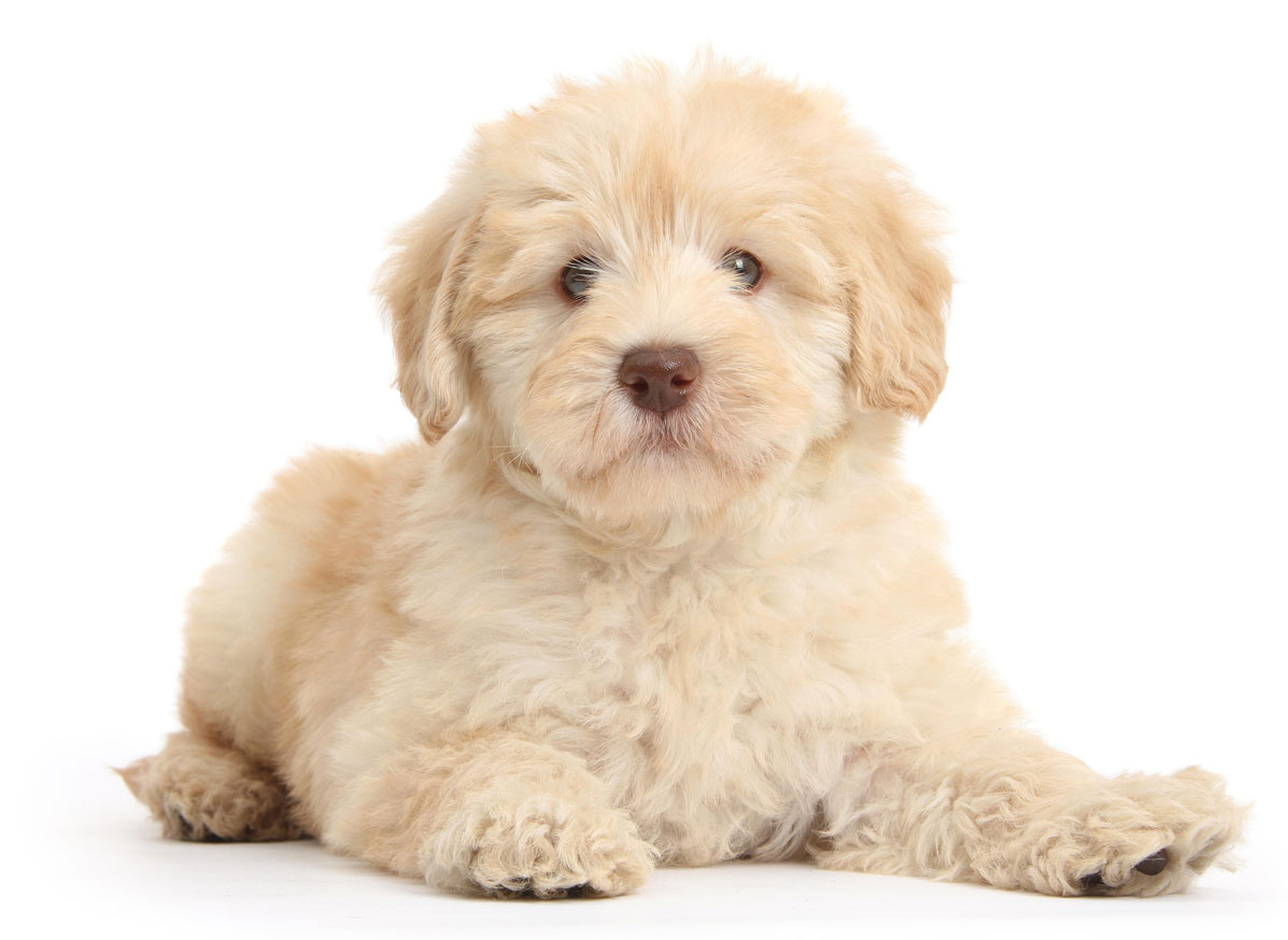 Goldendoodle puppy Florida