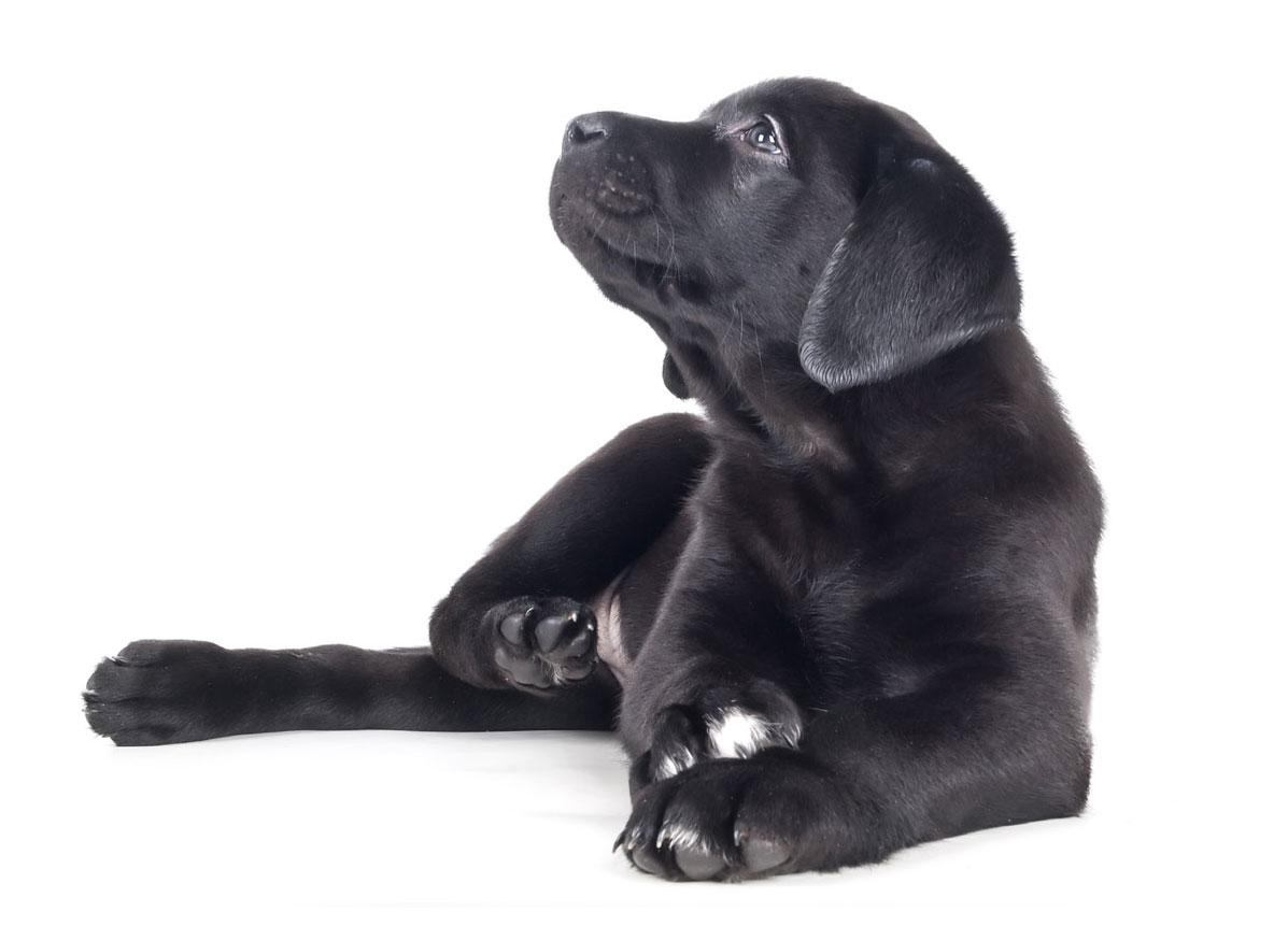Labrador Retriever Puppies Florida