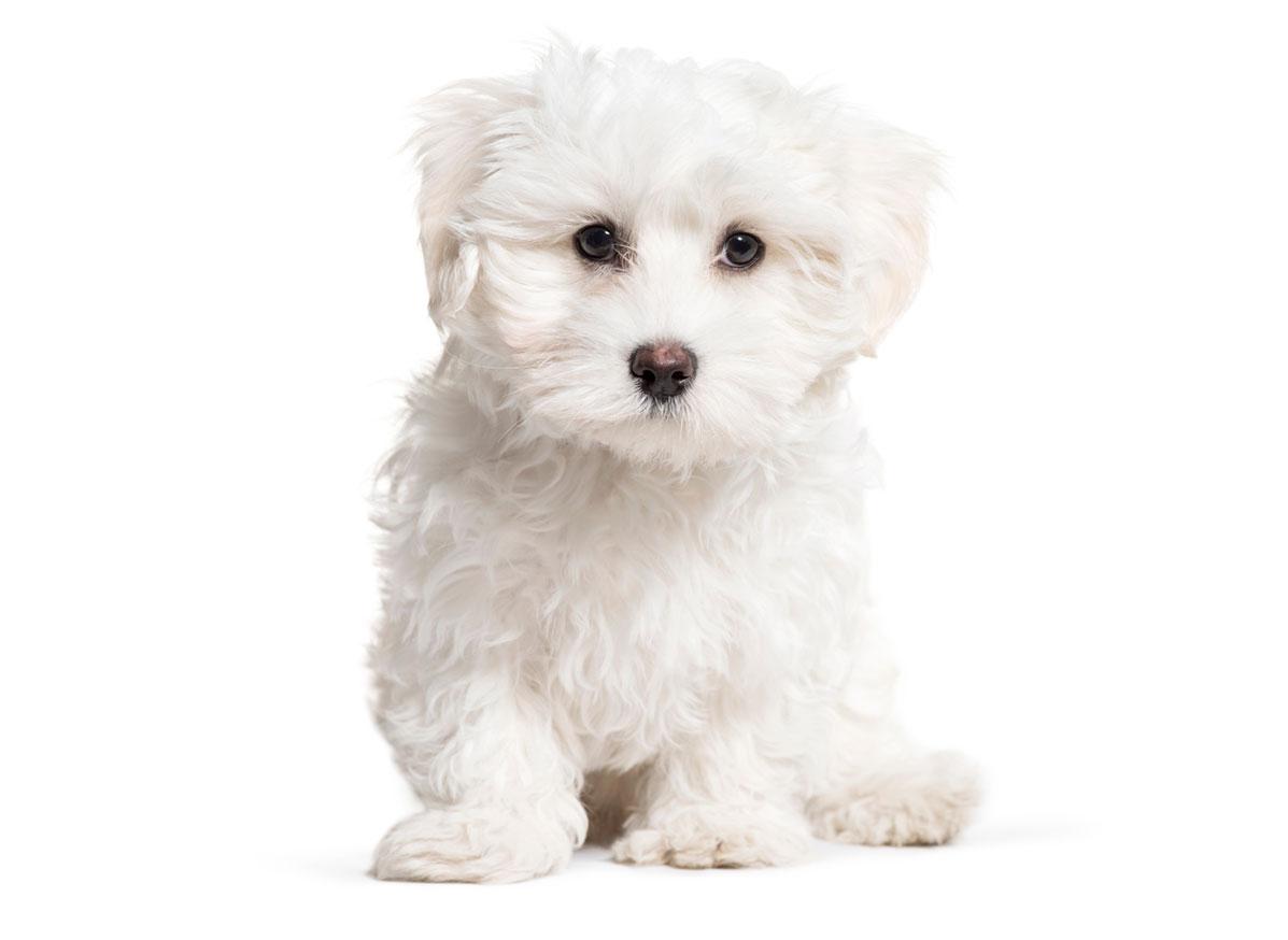 Maltese puppies Florida