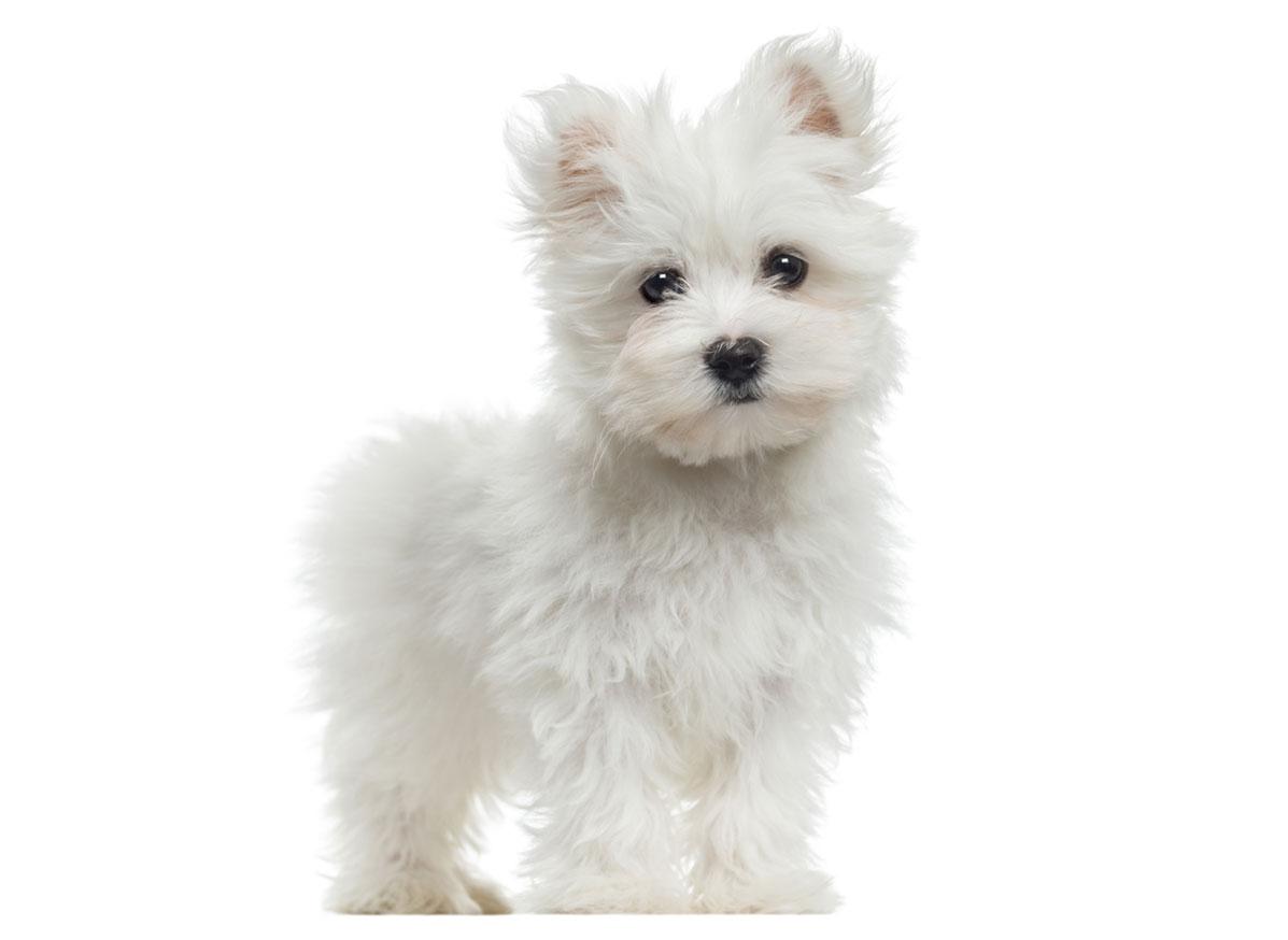 Maltese puppy Florida