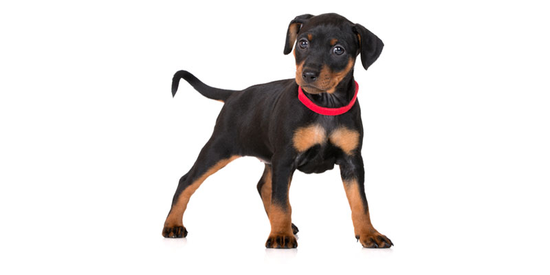 Miniature Pinscher puppies for sales