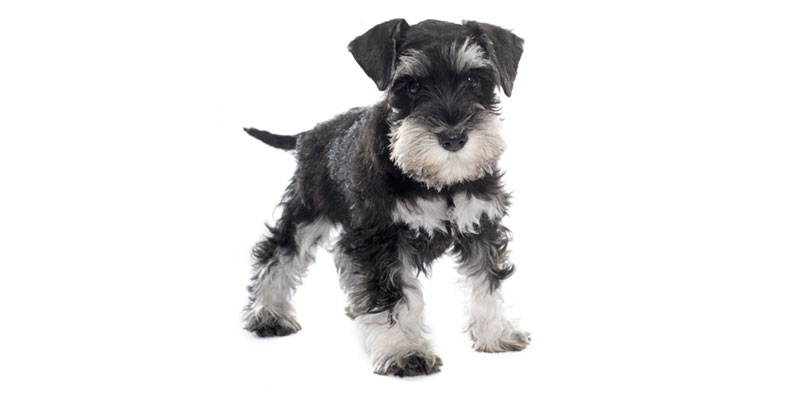Miniature Schnauzer puppies for sales