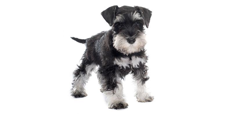 Miniature Schnauzer puppies for sales