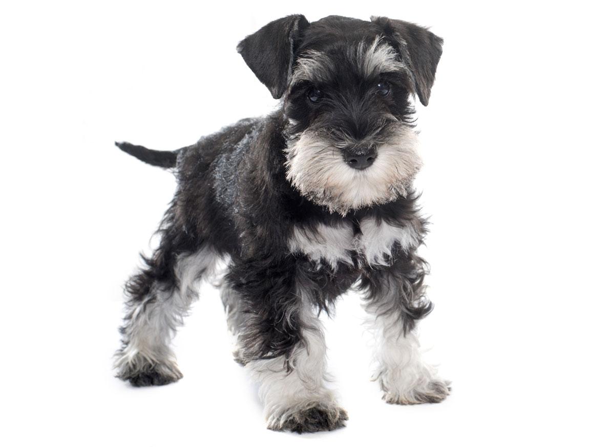 Miniature Schnauzer puppy Florida