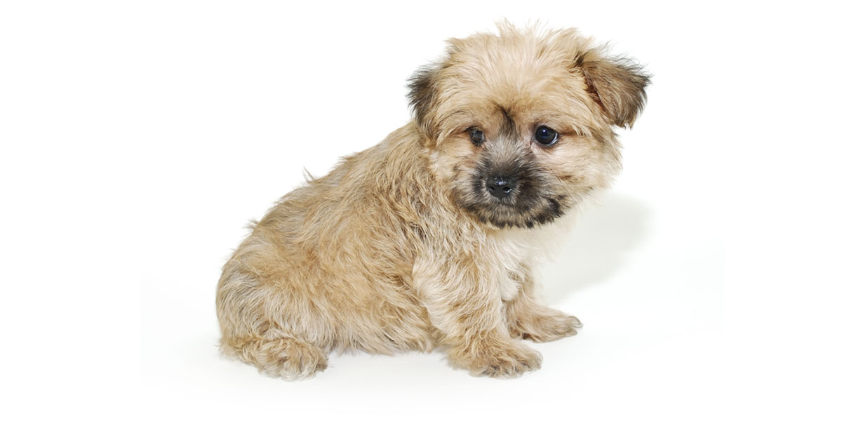 Morkie puppies for sales