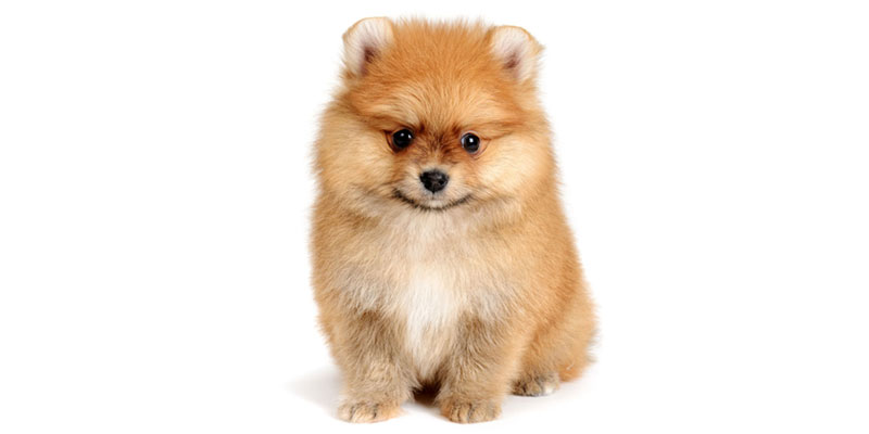 pomeranian puppies for sales