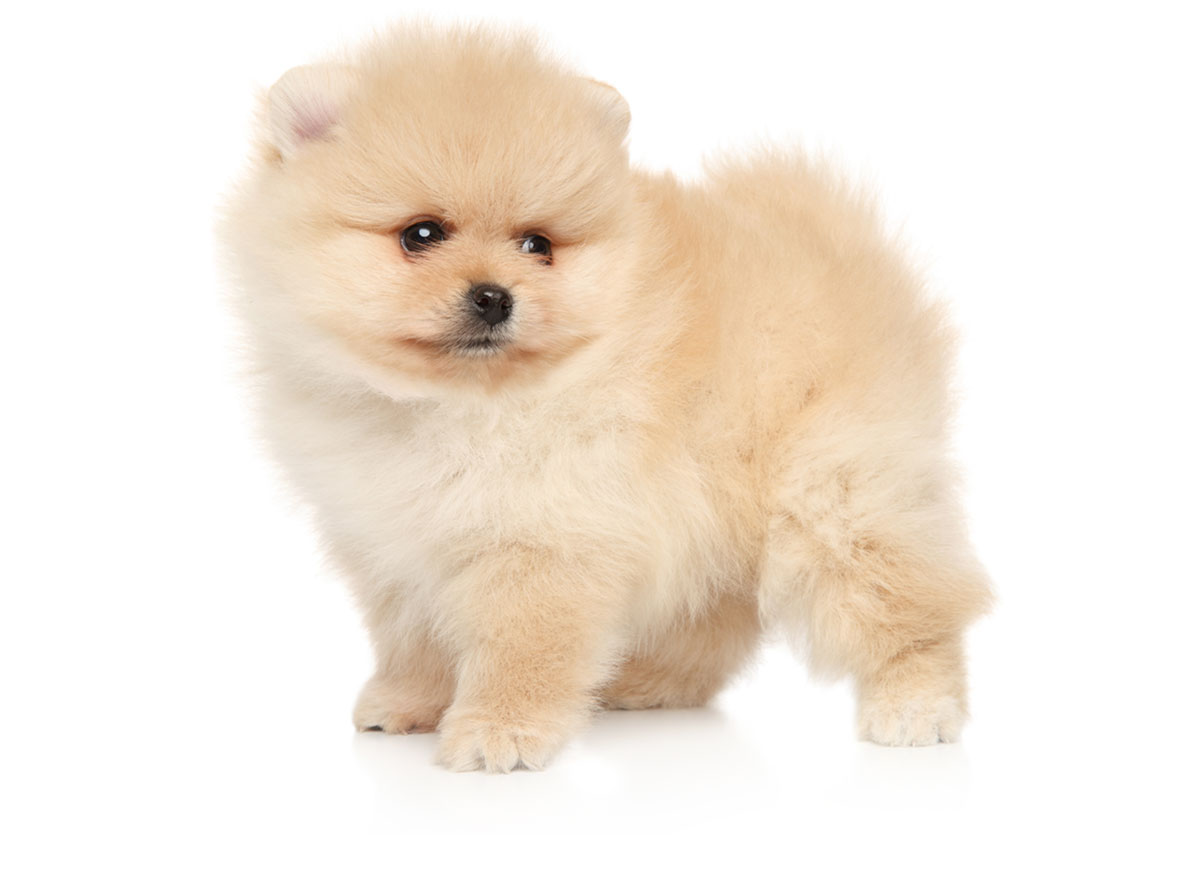 Pomeranian puppies Florida