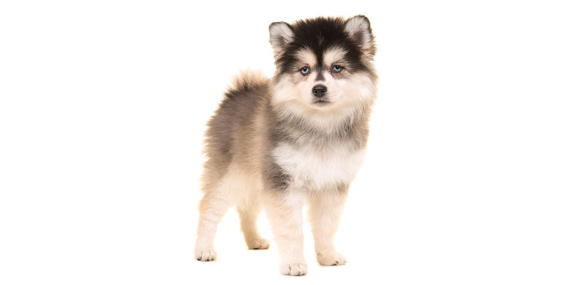 pomsky puppies for sales