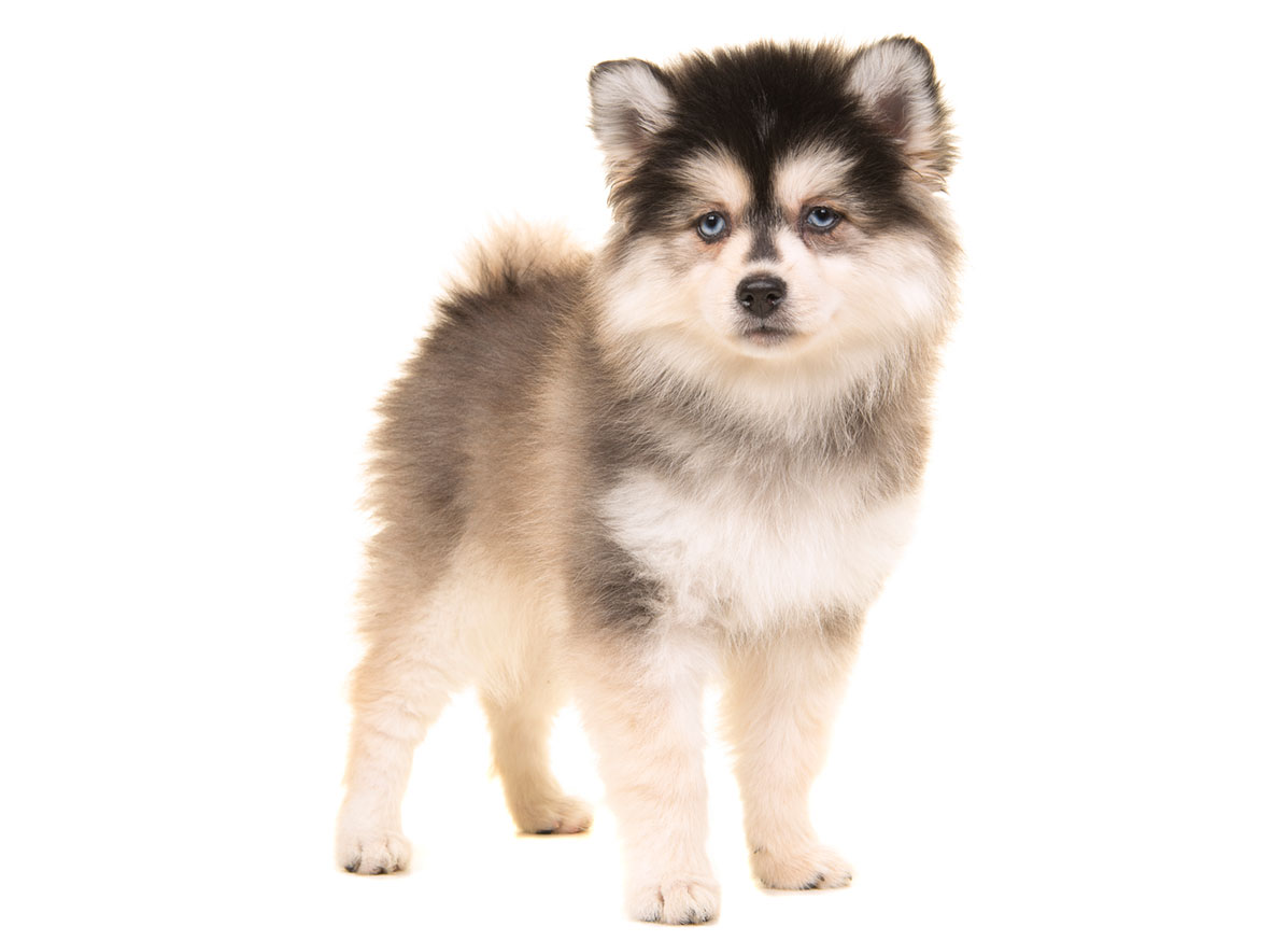 Pomsky puppy Florida