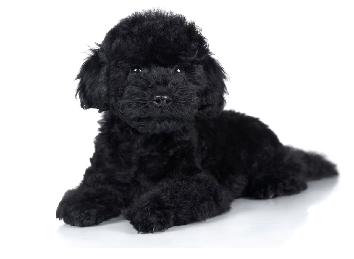 Poodle Puppies For Sale In Florida From Vetted Breeders