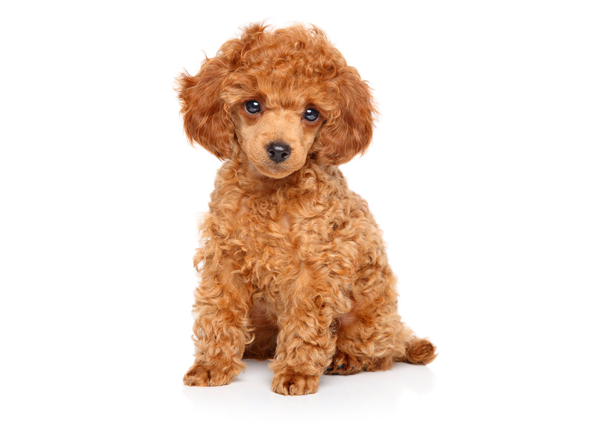 Poodle Puppies for Sale Florida