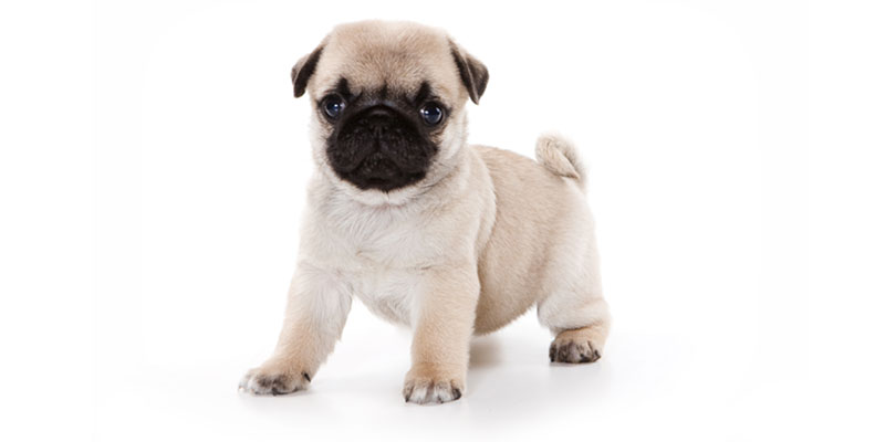 Pug puppies for sales