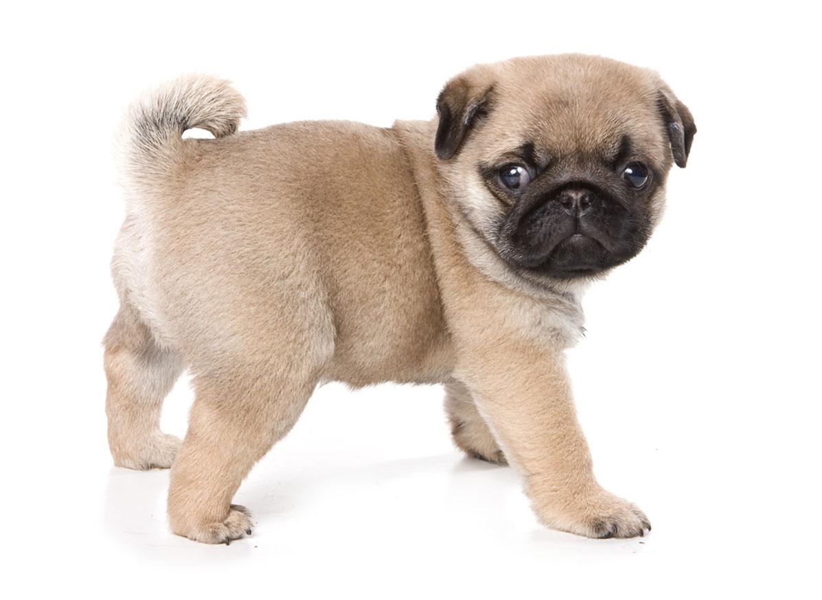 Pug puppy finder Florida