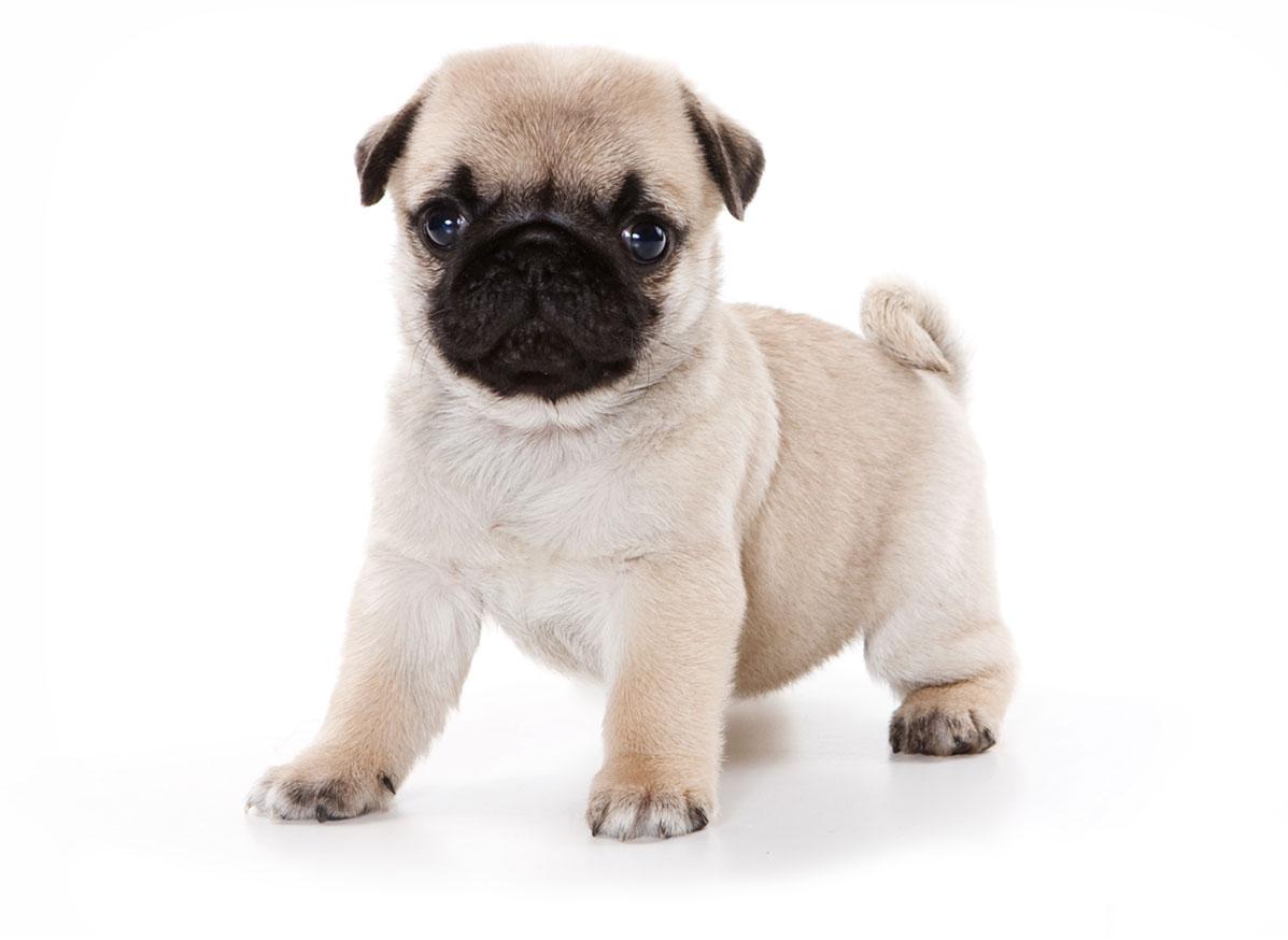 Pug puppy Florida