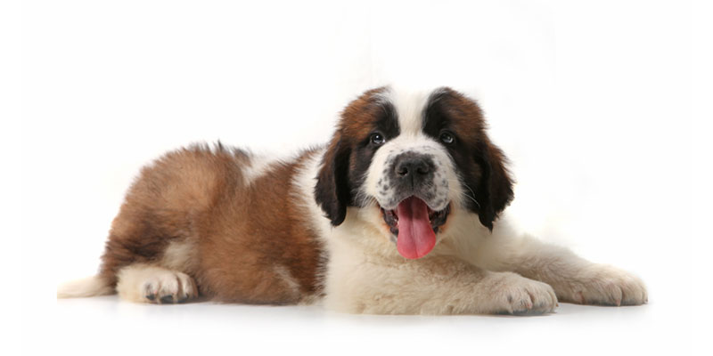 Saint Bernard puppies for sales