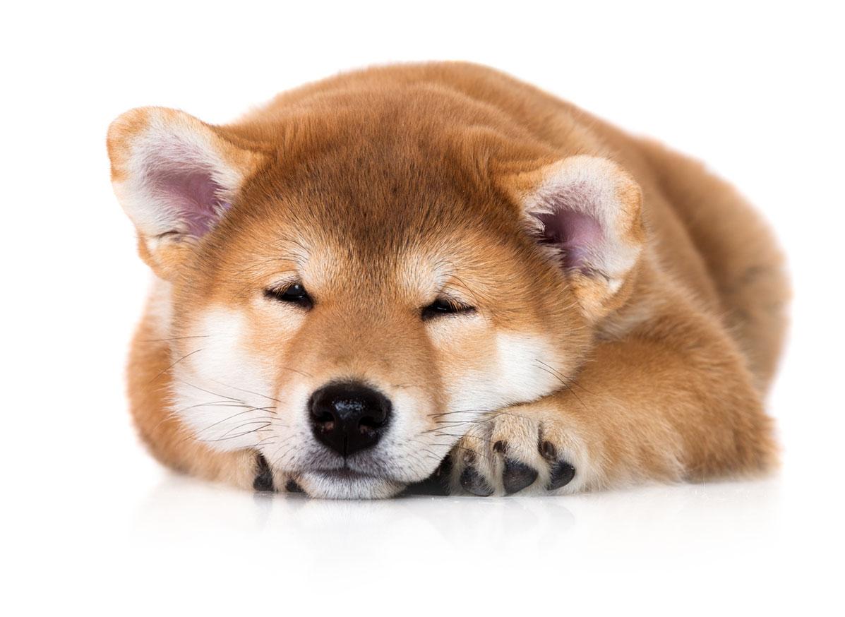 Shiba Inu Puppies Florida