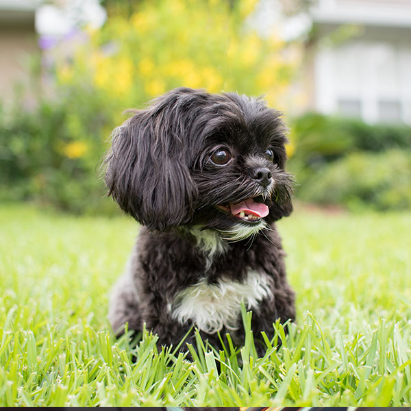 Shih Tzu puppies for sale