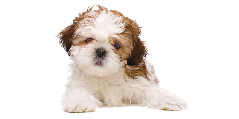 Shih Tzu puppies for sales