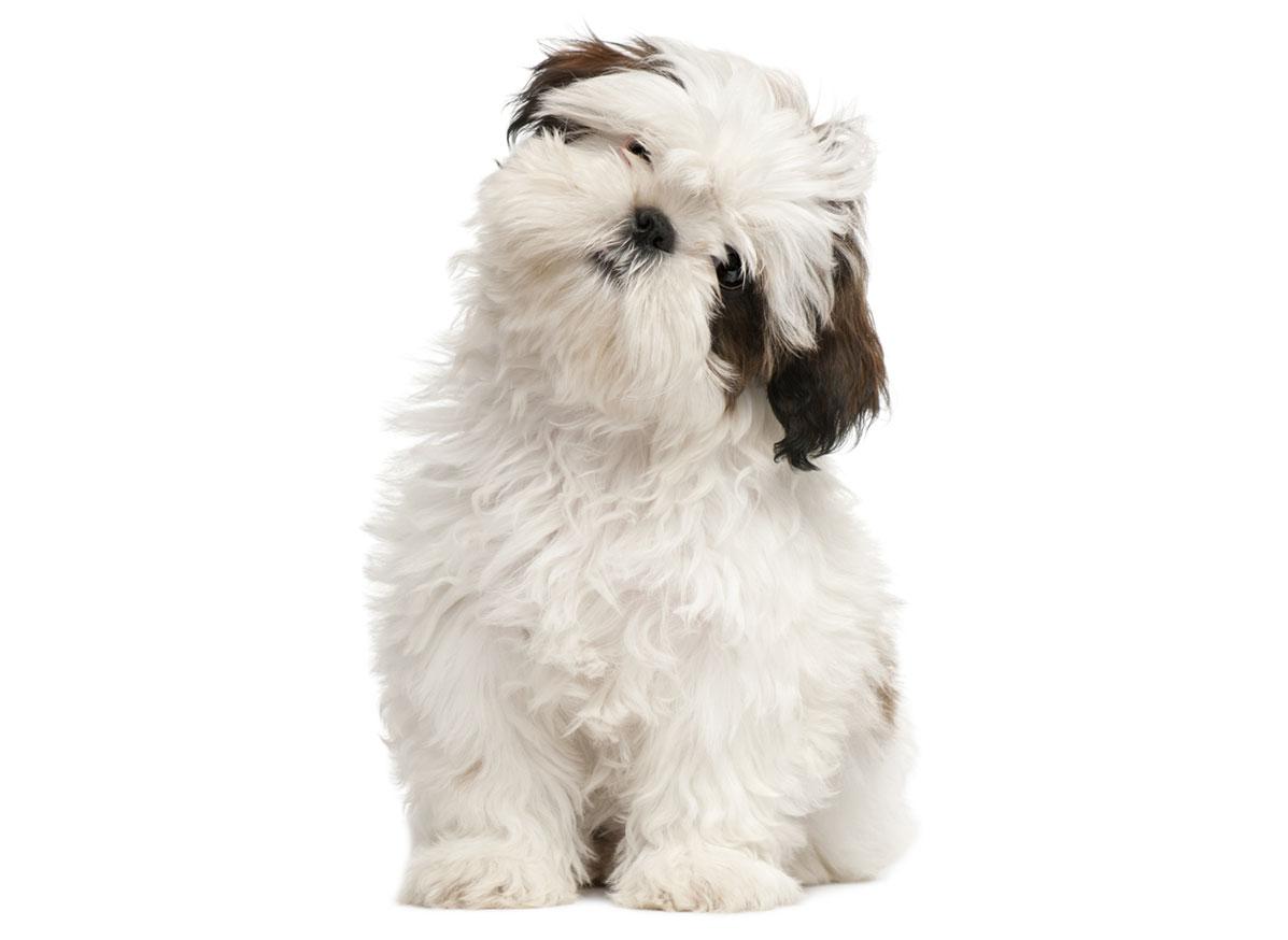 Shih Tzu puppy Florida