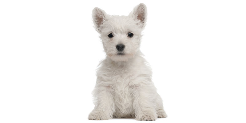 West Highland White Terrier puppies for sales