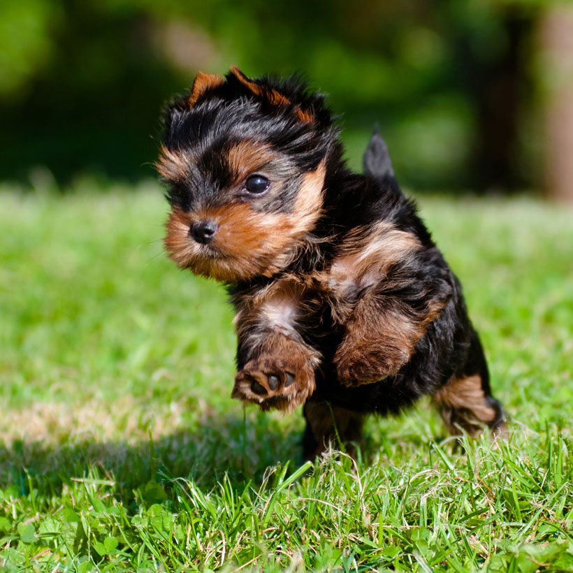Find Yorkshire Terrier Puppies For Sale In Florida