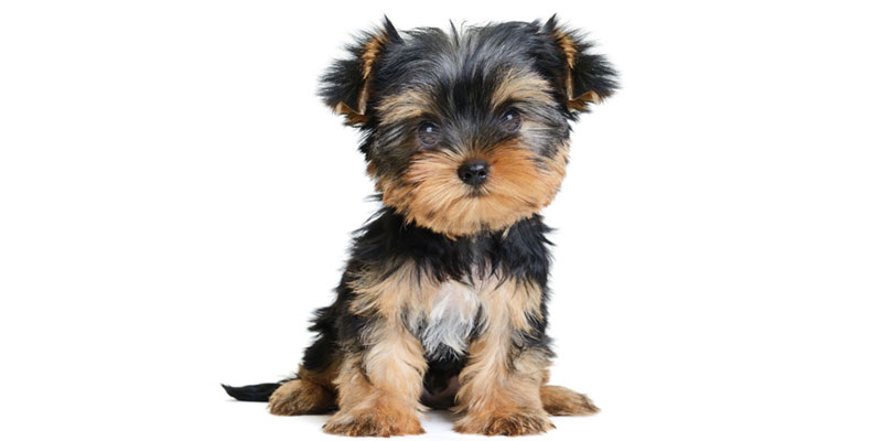 Yorky puppies for sales