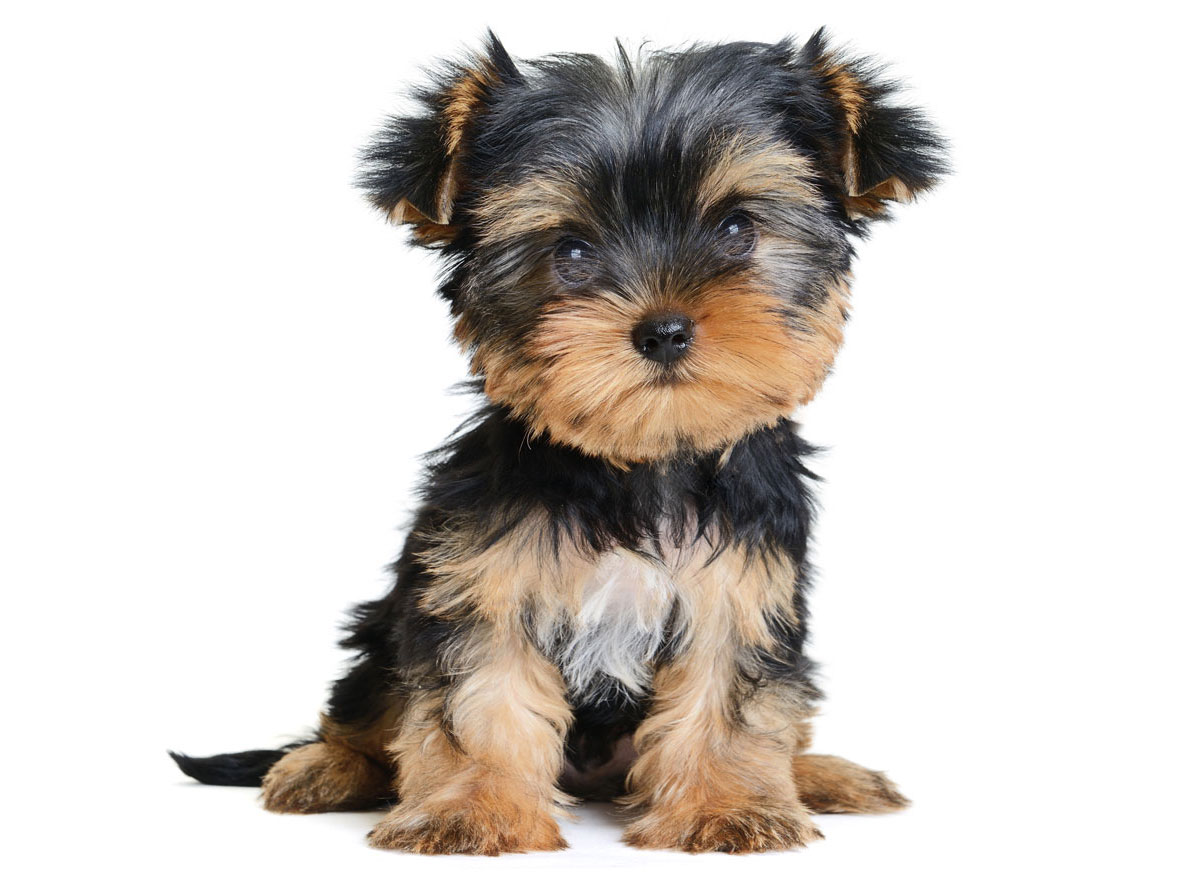 Yorkshire Terrier Puppies Florida